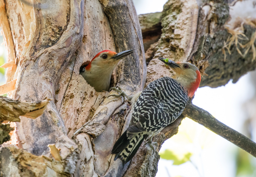 Red-bellied Woodpeckers at nest