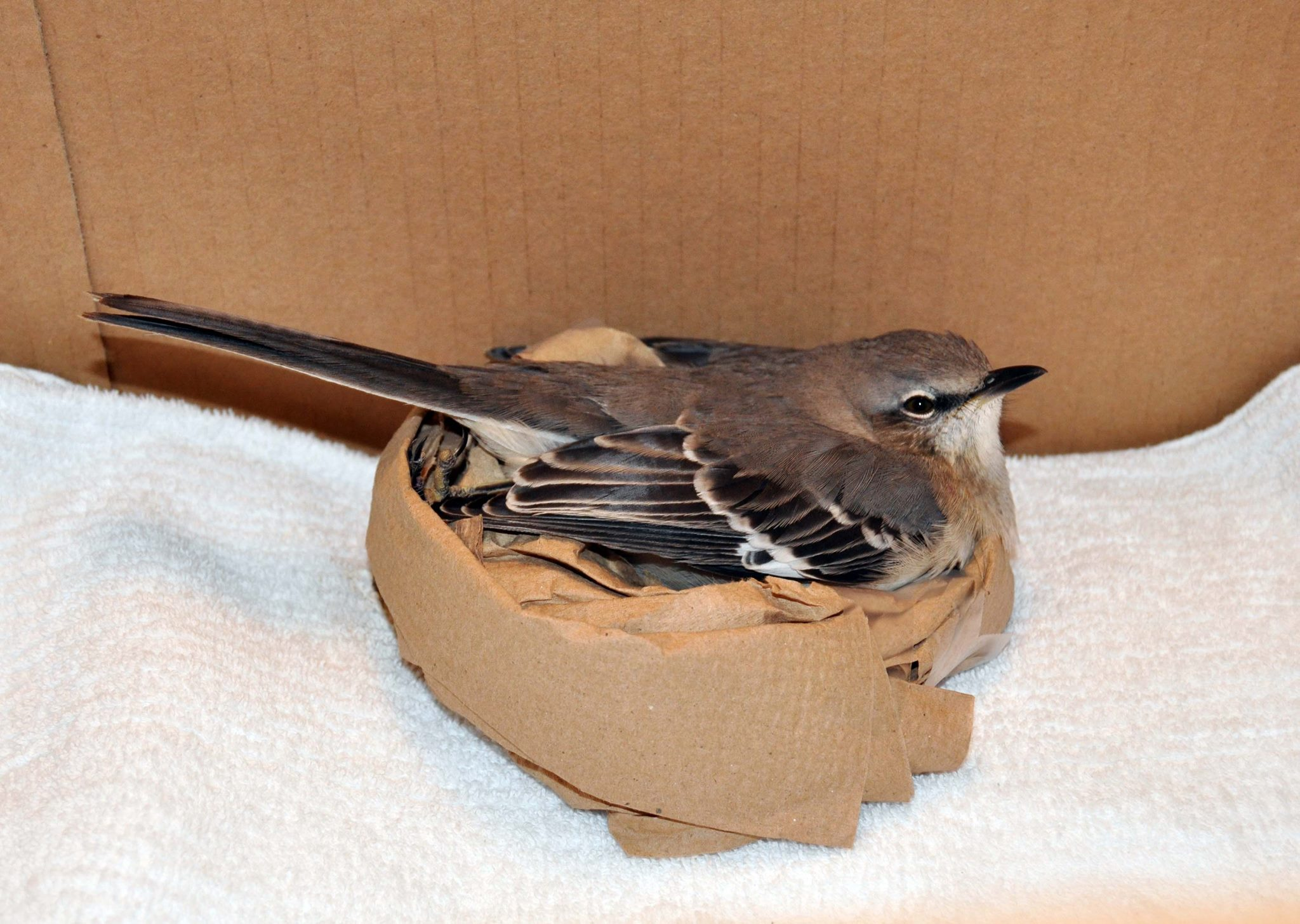 Recovering mockingbird in a box, balanced with a donut cushion