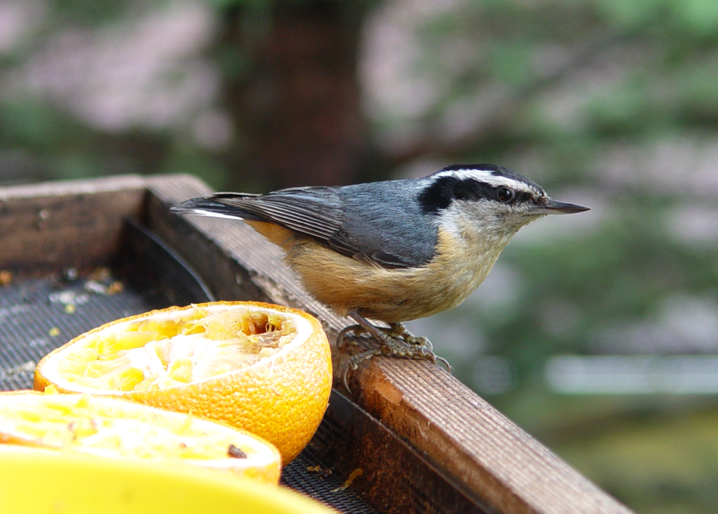 Red-breasted Nuthatch the next day
