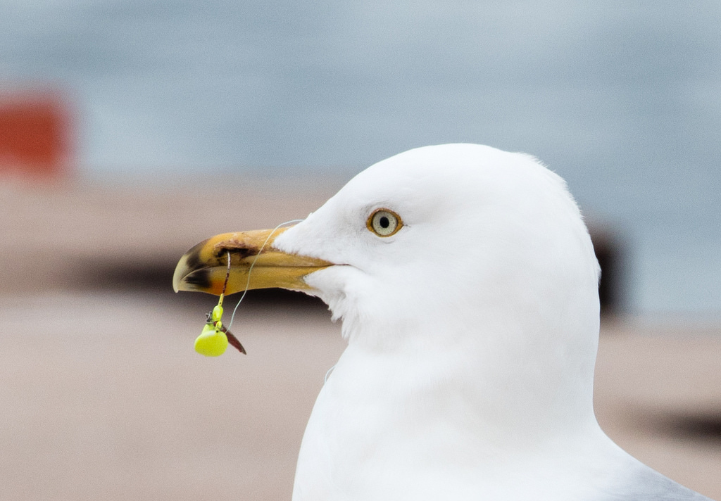 Herring Gull snagged with tackle