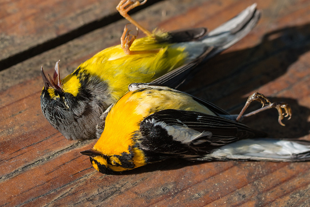 Window-killed Warblers