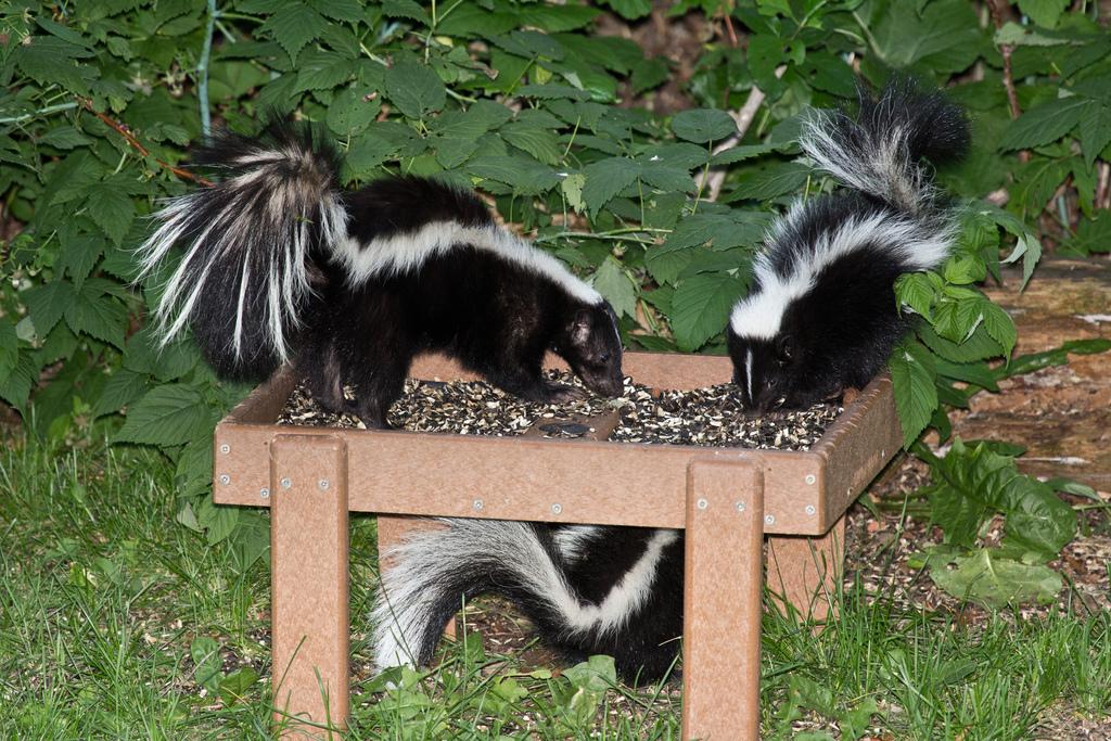 Skunks