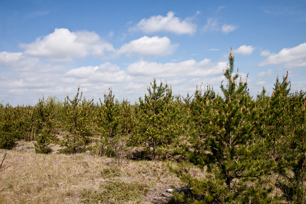 Young jack pine forest
