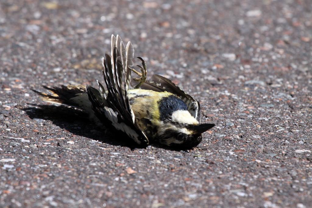 Dead Yellow-bellied Sapsucker