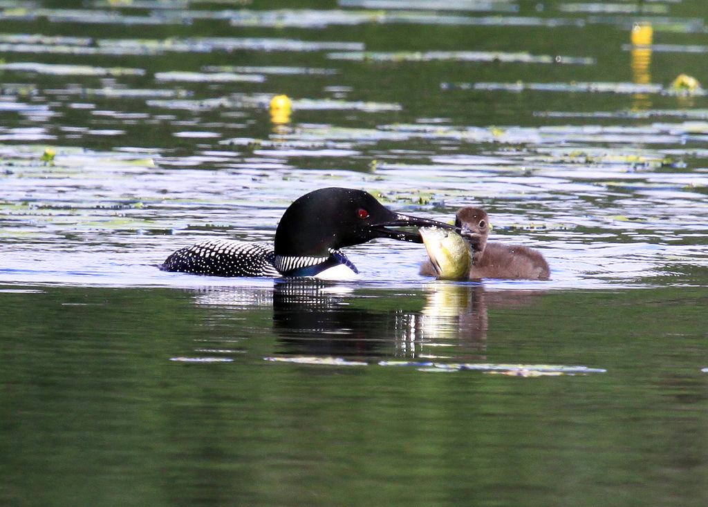 Loon adult feeding young a fish