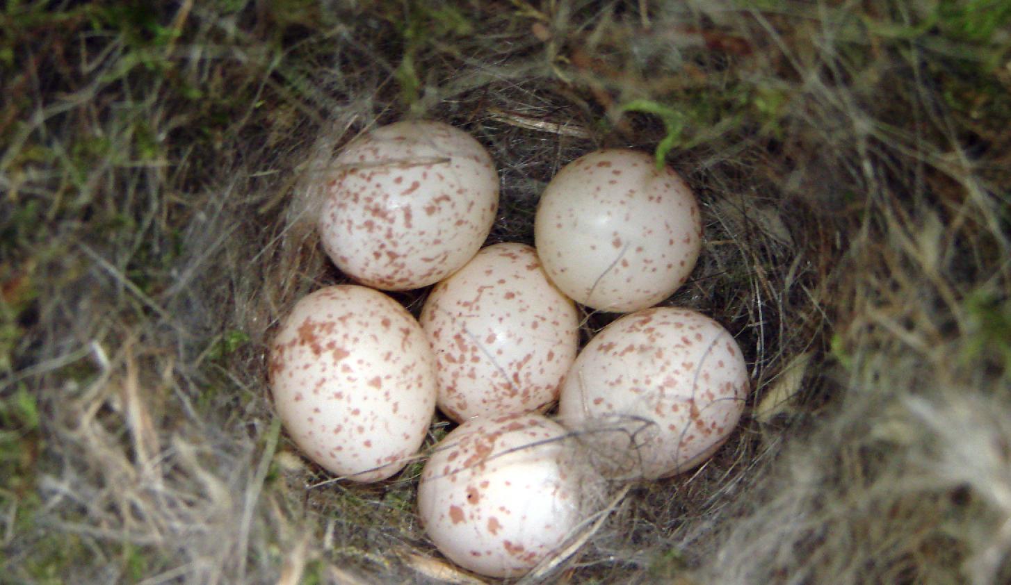 Chickadee clutch