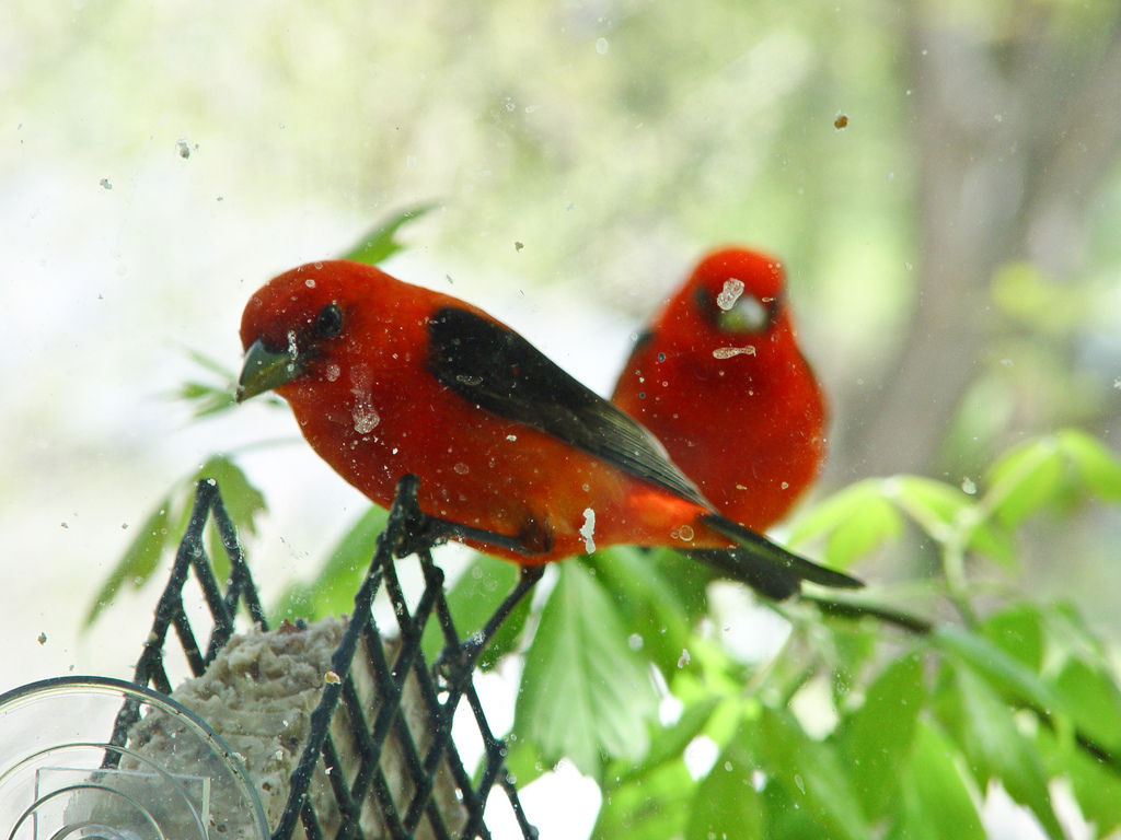 Scarlet Tanagers at suet feeder