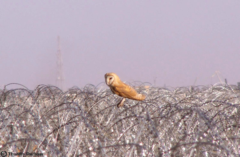 Barn Owl on razor wire