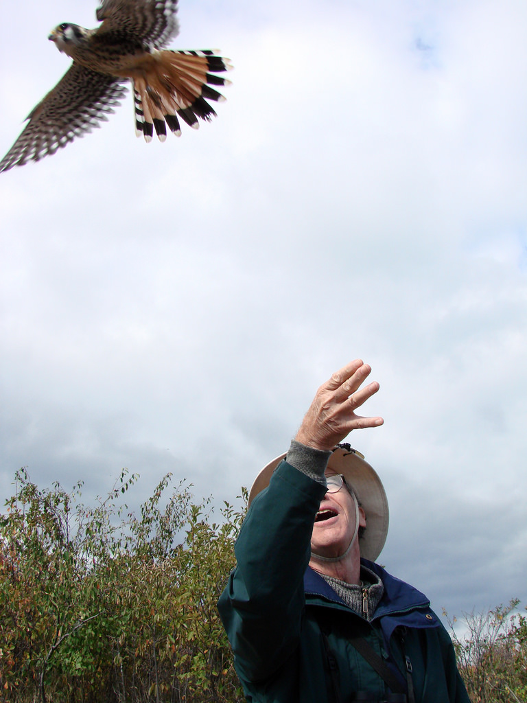 Hawk Ridge kestrel release
