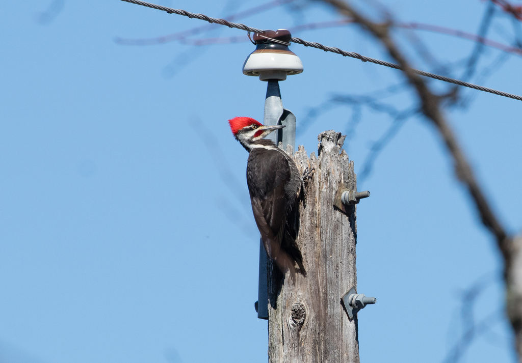 Pileated Woodpecker on power pole