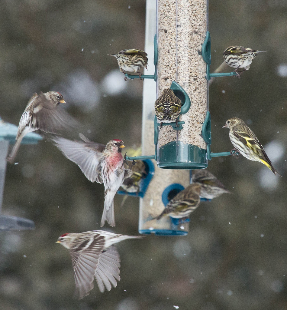 Redpolls and siskins