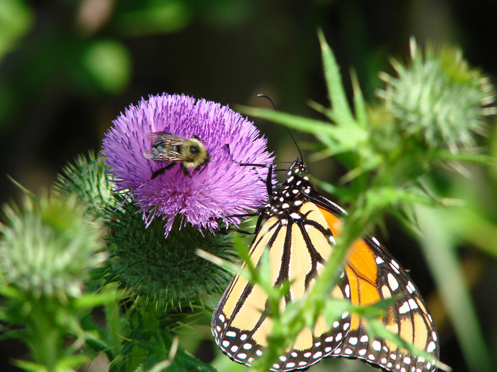 Thistle with bee and monarch butterfly