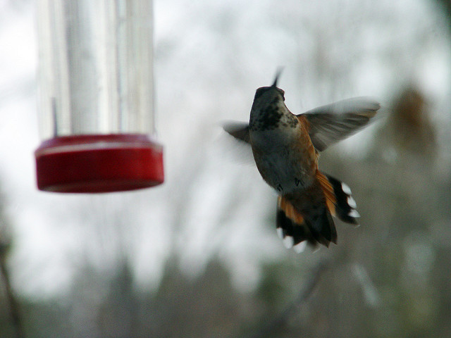 Viola the Rufous Hummingbird